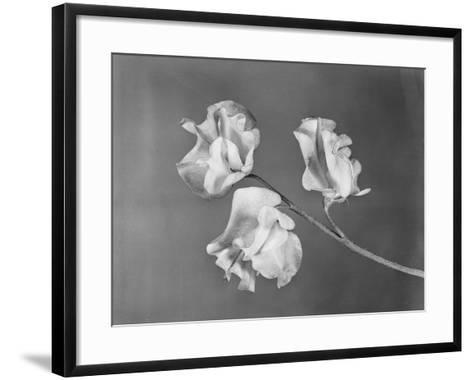 Close View of Sweet Peas-Philip Gendreau-Framed Art Print