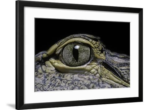 Alligator Mississippiensis (American Alligator) - Eye-Paul Starosta-Framed Art Print