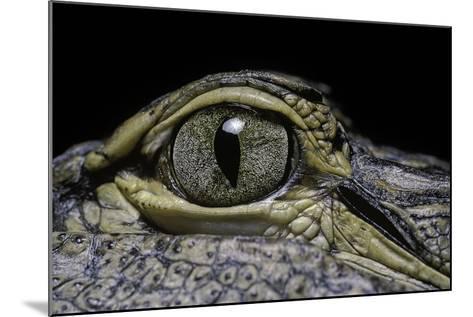 Alligator Mississippiensis (American Alligator) - Eye-Paul Starosta-Mounted Photographic Print
