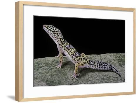 Eublepharis Macularius (Leopard Gecko)-Paul Starosta-Framed Art Print