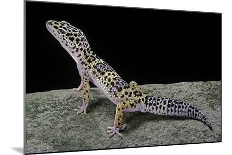 Eublepharis Macularius (Leopard Gecko)-Paul Starosta-Mounted Photographic Print