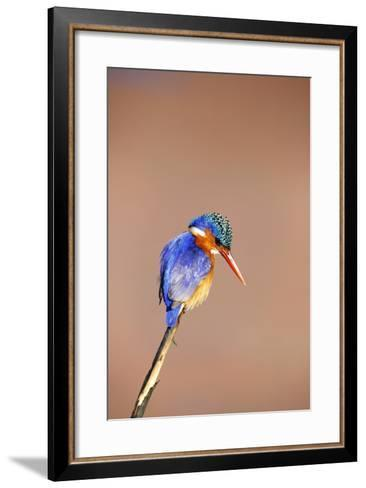 Malachite Kingfisher, South Africa-Richard Du Toit-Framed Art Print
