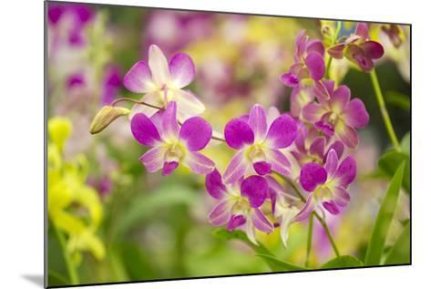 Purple Dendrobium Orchid-Ron Dahlquist-Mounted Photographic Print