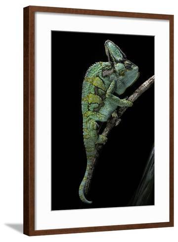 Chamaeleo Calyptratus (Veiled Chameleon)-Paul Starosta-Framed Art Print