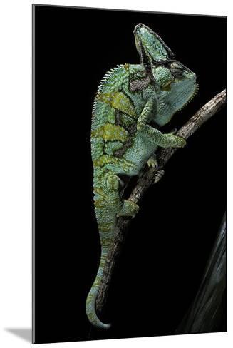Chamaeleo Calyptratus (Veiled Chameleon)-Paul Starosta-Mounted Photographic Print