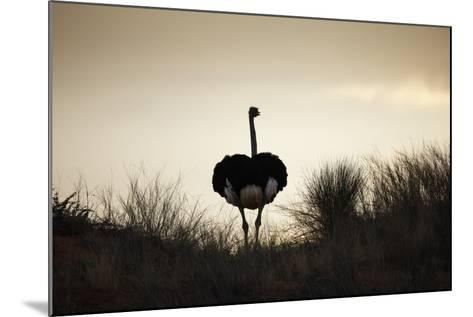Ostrich Silhouette, South Africa-Richard Du Toit-Mounted Photographic Print