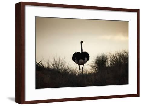 Ostrich Silhouette, South Africa-Richard Du Toit-Framed Art Print