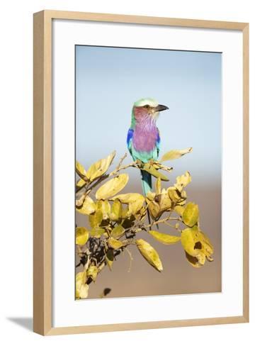 Lilac-Breasted Roller, South Africa-Richard Du Toit-Framed Art Print