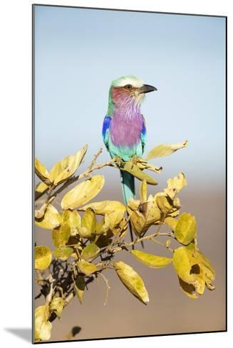 Lilac-Breasted Roller, South Africa-Richard Du Toit-Mounted Photographic Print