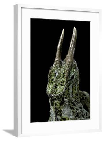 Chamaeleo Johnstoni (Johnston's Chameleon)-Paul Starosta-Framed Art Print