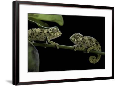 Chamaeleo Johnstoni (Johnston's Chameleon) - Young-Paul Starosta-Framed Art Print