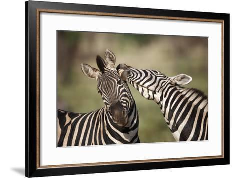 Zebras, South Africa-Richard Du Toit-Framed Art Print