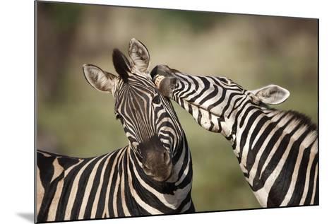 Zebras, South Africa-Richard Du Toit-Mounted Photographic Print