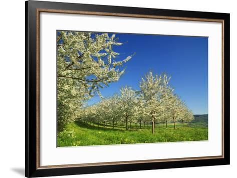 Cherry Plantation in Bloom-Frank Krahmer-Framed Art Print