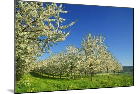 Cherry Plantation in Bloom-Frank Krahmer-Mounted Photographic Print