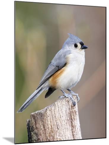 Tufted-Titmouse-Gary Carter-Mounted Photographic Print