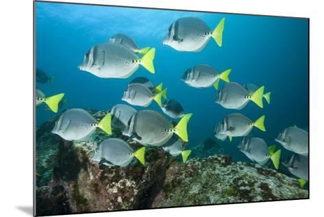 School of Yellow Tail Surgeonfish-Michele Westmorland-Mounted Photographic Print