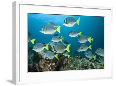 School of Yellow Tail Surgeonfish-Michele Westmorland-Framed Art Print