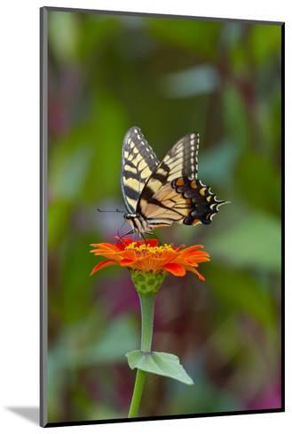 Swallowtail Butterfly-Gary Carter-Mounted Photographic Print