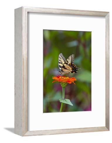 Swallowtail Butterfly-Gary Carter-Framed Art Print