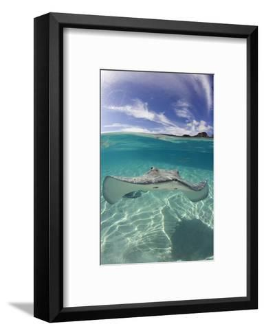 Tahitian Stingray in French Polynesia-Stephen Frink-Framed Art Print