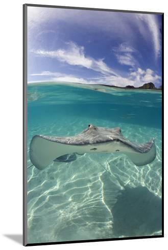 Tahitian Stingray in French Polynesia-Stephen Frink-Mounted Photographic Print