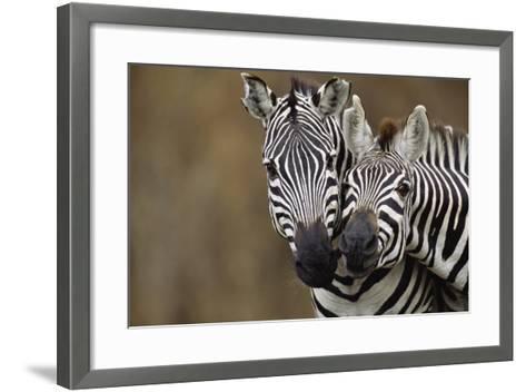 Burchell's Zebras-Momatiuk - Eastcott-Framed Art Print