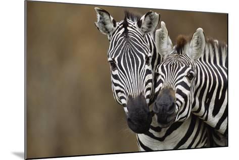 Burchell's Zebras-Momatiuk - Eastcott-Mounted Photographic Print