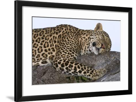 Leopard Asleep on Branch-Momatiuk - Eastcott-Framed Art Print