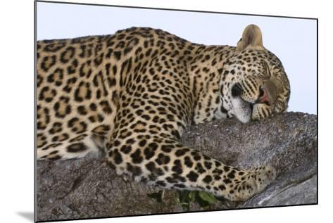 Leopard Asleep on Branch-Momatiuk - Eastcott-Mounted Photographic Print