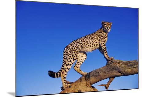 Cheetah-Martin Harvey-Mounted Photographic Print