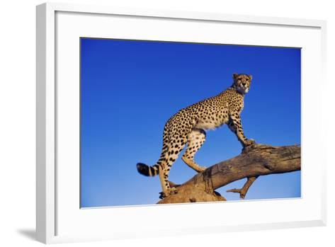 Cheetah-Martin Harvey-Framed Art Print