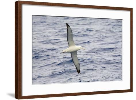 Wandering Albatross Flying above Sea-Momatiuk - Eastcott-Framed Art Print