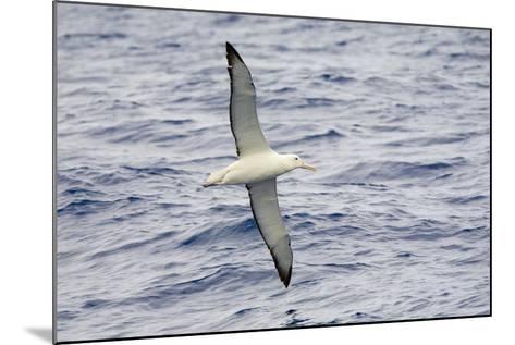 Wandering Albatross Flying above Sea-Momatiuk - Eastcott-Mounted Photographic Print