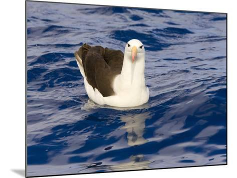 Black-Browed Albatross Floating on Sea-Momatiuk - Eastcott-Mounted Photographic Print
