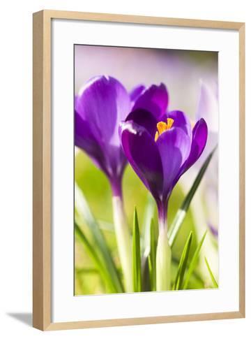 Pink Crocus Flowers-Frank Lukasseck-Framed Art Print