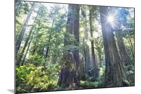 Coast Redwood Forest (Sequoia Sempervirens)-Frank Krahmer-Mounted Photographic Print