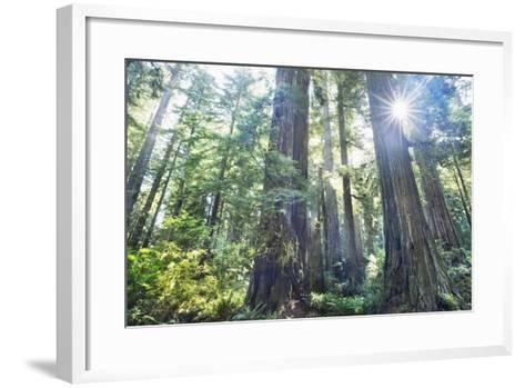 Coast Redwood Forest (Sequoia Sempervirens)-Frank Krahmer-Framed Art Print