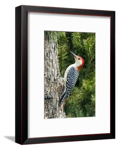 Red-Bellied Woodpecker-Gary Carter-Framed Art Print