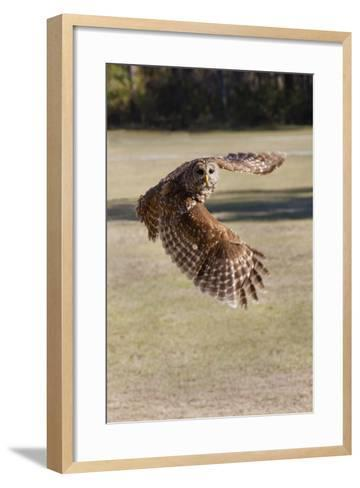 Barred Owl in Flight-Hal Beral-Framed Art Print