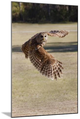 Barred Owl in Flight-Hal Beral-Mounted Photographic Print