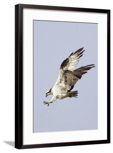 Osprey with Extended Talons-Hal Beral-Framed Art Print
