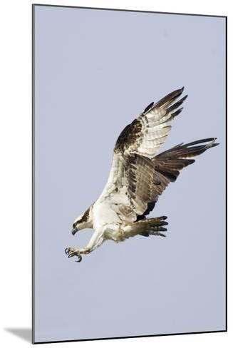 Osprey with Extended Talons-Hal Beral-Mounted Photographic Print