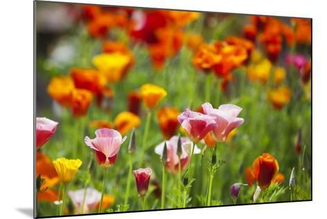 Poppies in Full Bloom-Terry Eggers-Mounted Photographic Print