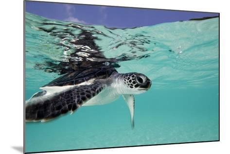 Juvenile Green Sea Turtle (Chelonia Mydas)-Stephen Frink-Mounted Photographic Print