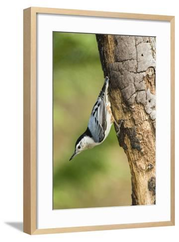White-Breasted Nuthatch-Gary Carter-Framed Art Print