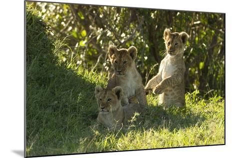 Africa Lion Cubs Playing-Mary Ann McDonald-Mounted Photographic Print