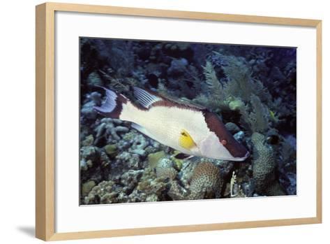 Hogfish-Hal Beral-Framed Art Print