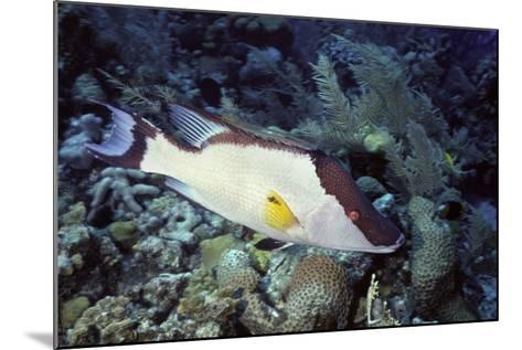 Hogfish-Hal Beral-Mounted Photographic Print