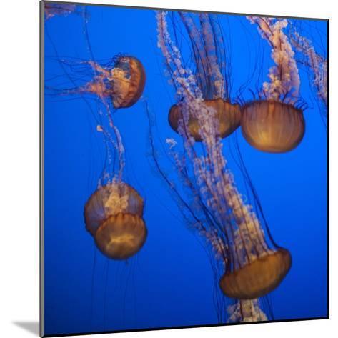 Lion's Mane Jellyfish-Richard T. Nowitz-Mounted Photographic Print